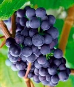 Виноград Сибирский