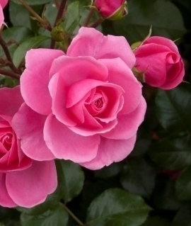 "Роза ""Берлебург"""