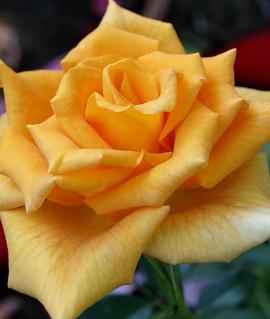 "Роза ""Голден Моника"""