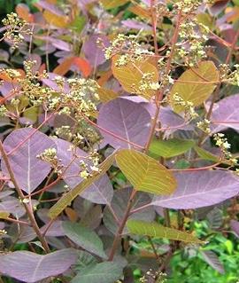 Скумпия пурпурнолистная