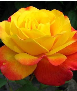 """Роза """"Самба"""""""