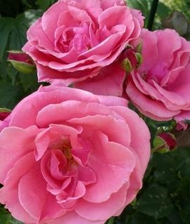 """Роза """"Лавиния"""""""