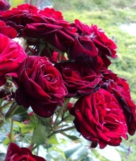 "Роза ""Лаваглут"""