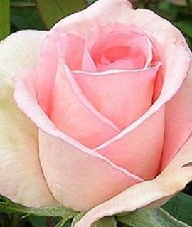 """Роза """"Вивальди"""""""