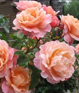 """Роза """"Мари Кюри"""""""