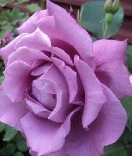 """Роза """"Дольче Велле"""""""