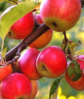 Яблоня сибирка (дичка)