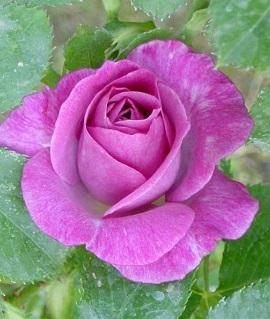 Спрей-роза Виолетта
